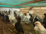 겨울 병아리키우기 자연육추와 병아리사료만들기 그리고 농약과 항생제 없는 자연농의 고난(苦難)-35