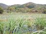 팜파스꽃말을 소개해요, 멕시코억새 팜파스그라스