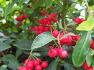 [대구수목원] 열대과일원에 한국 원산지 환경정화 식물 백냥 이상의 가치가 되는 똑똑한 나무 백량금(만냥금),열매, 효능.