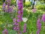 대구수목원에 향균 지사제료 사용되고 백중날 연꽃대신 부처님께 공양한 부처꽃(천굴채),꽃,효능,유래.