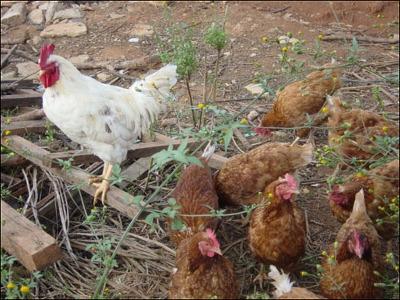 Image result for 초가 지붕 아래의 닭
