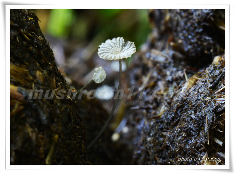 흰가루두엄먹물버섯 Coprinopsis stercorea