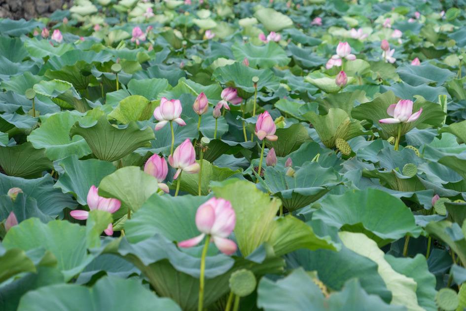 제주도 하가리 연화지 연꽃. 더럭분교 인근 볼거리